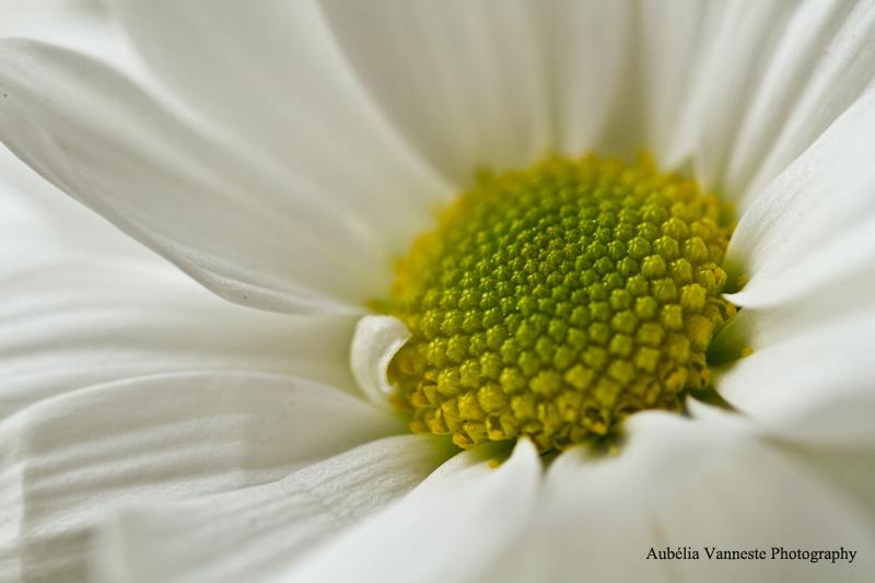 Chrysanthemum santini I