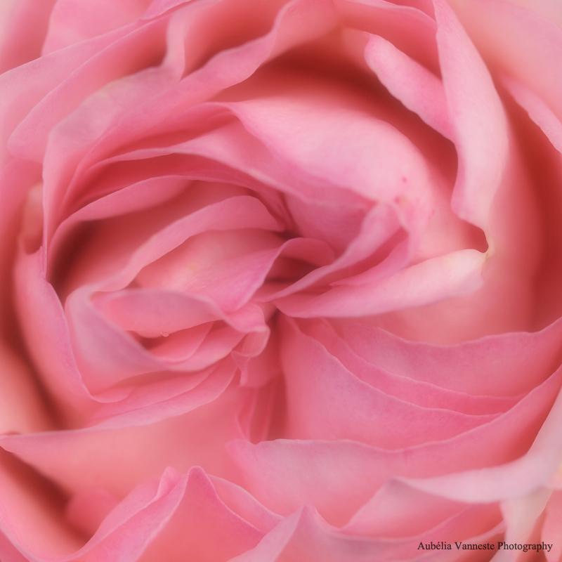 La douceur d'une rose