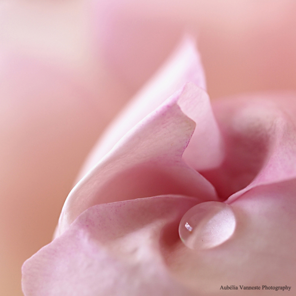 Une larme d'une rose - A tear of a rose