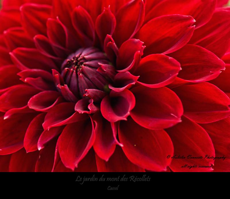 A red Dahlia