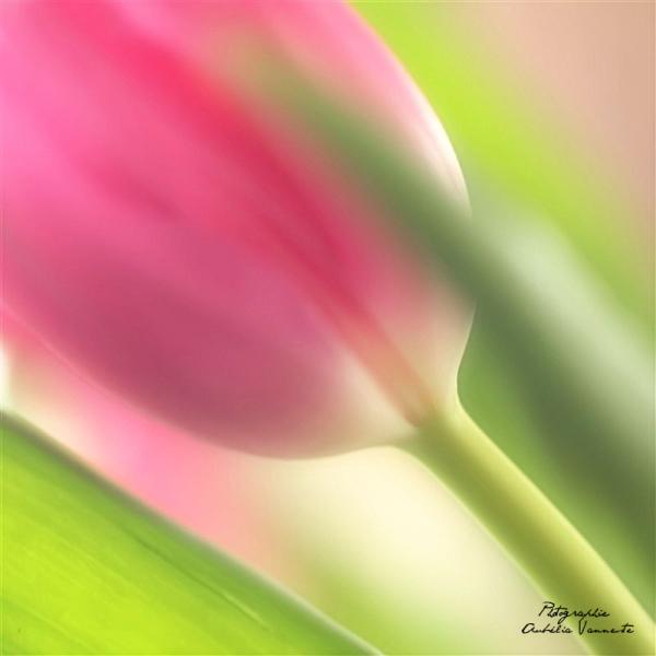 La douceur d'une tulipe
