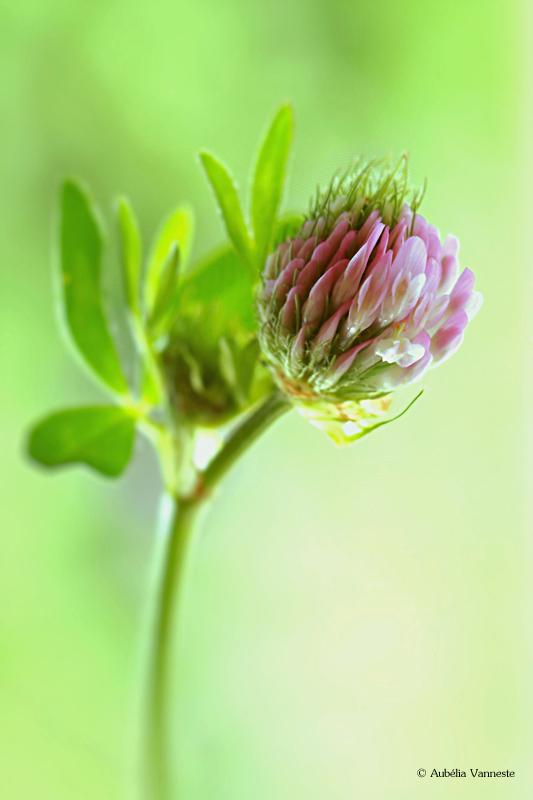 Rode klaver-Trifolium pratense L.
