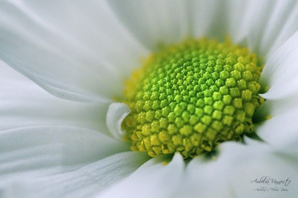 Chrysanthemum santini