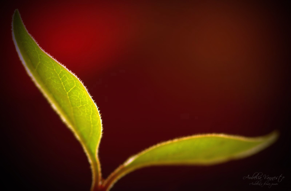 A nicely formed leaf against a red background