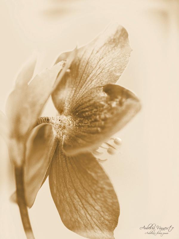 Helleborus in sepia