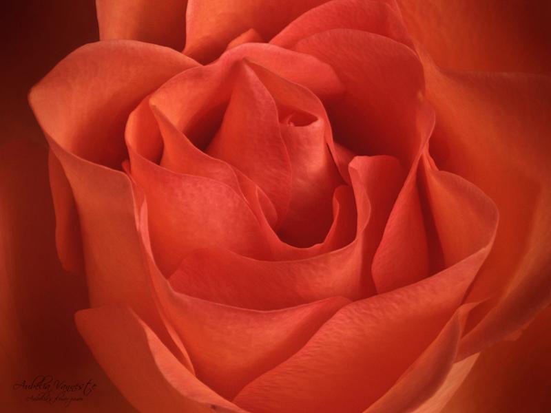 De schoonheid van een roos, la beauté d
