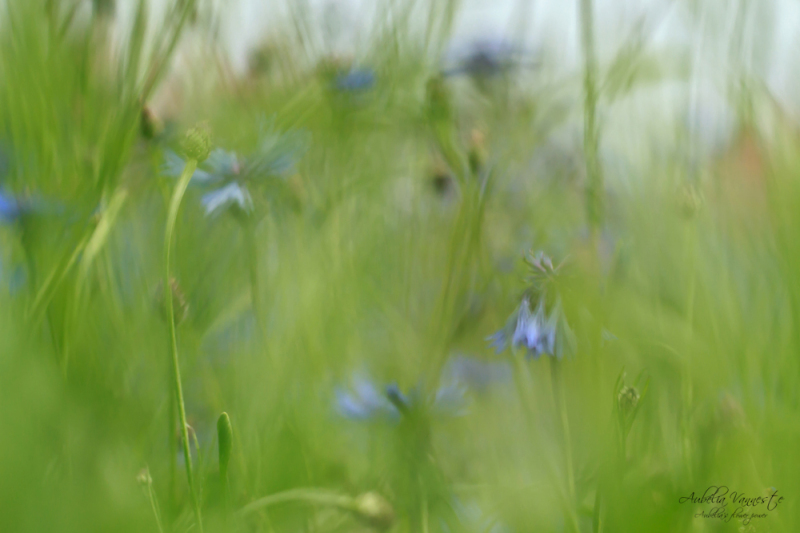 Beautiful wilderness with cornflowers