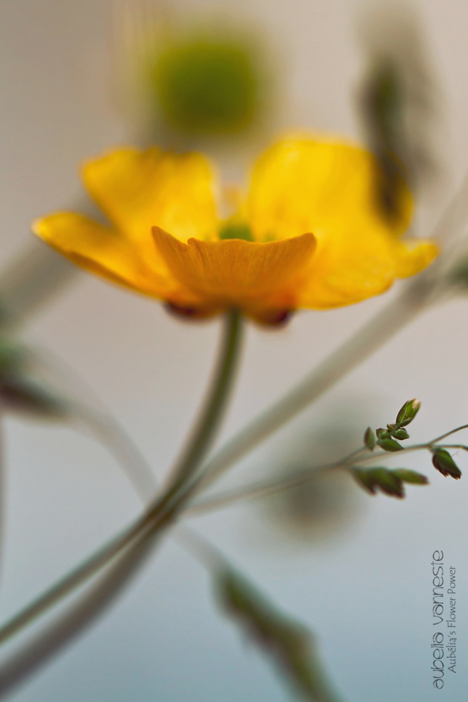 A beautiful buttercup between the grasses