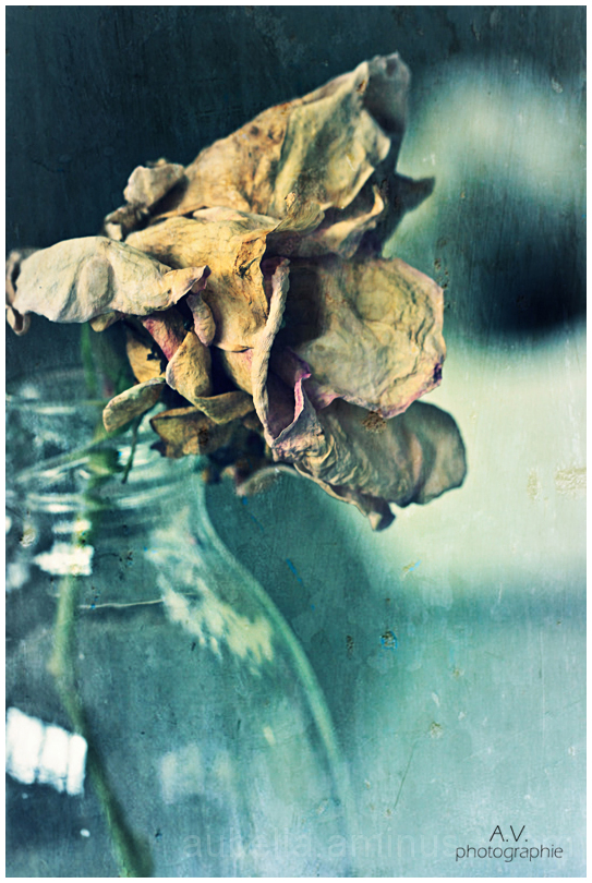 The beauty of a faded Rose