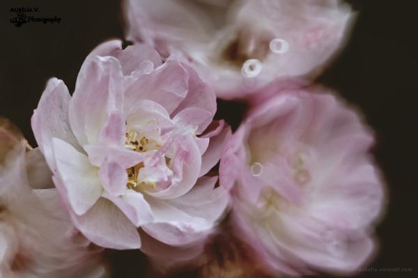 Beautiful, pink Roses