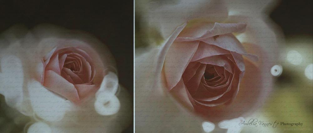 Rosa 'Pierre de Ronsard', une belle fleur