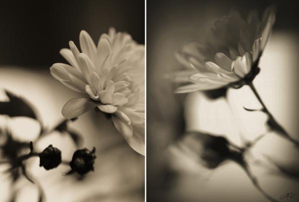 Chrysanthemum duo