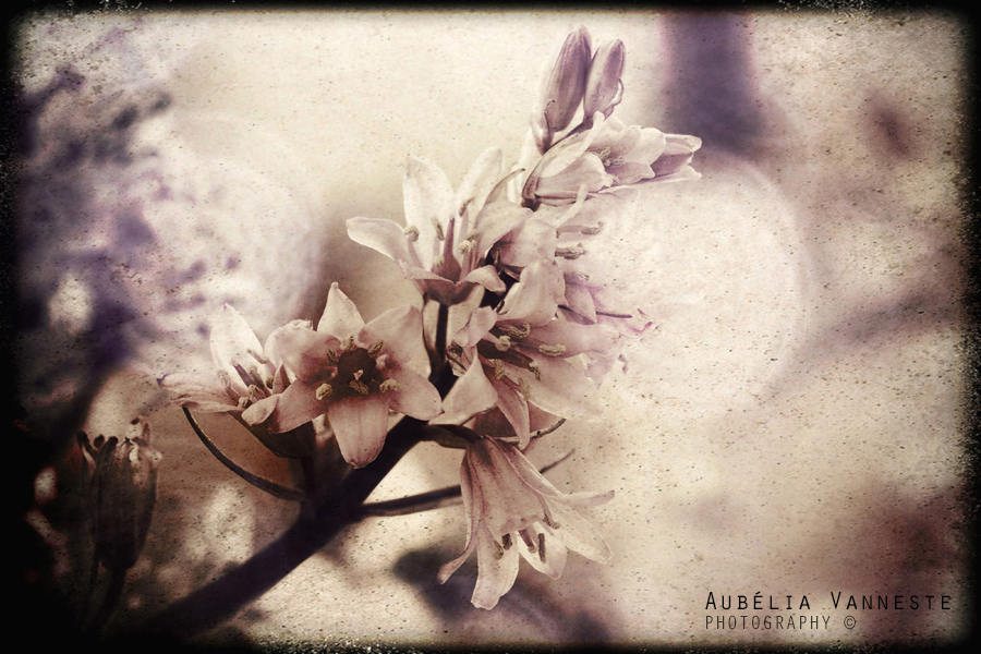 Hyacinthus mood