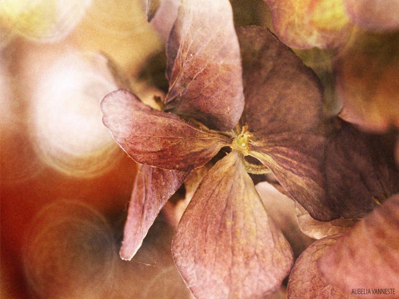 Hydrangea poetry