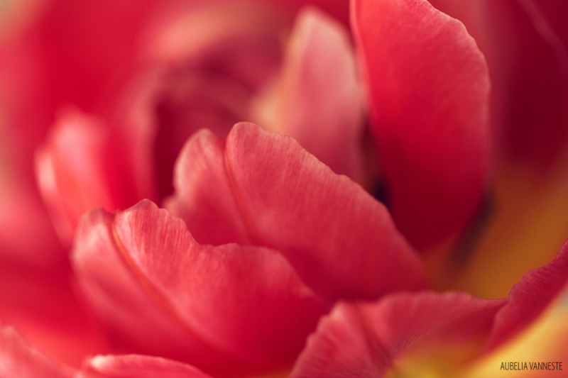 The beauty of a Tulip