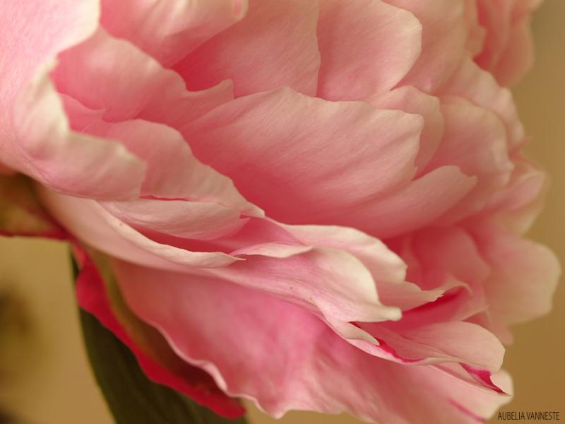 A soft, pink cloud