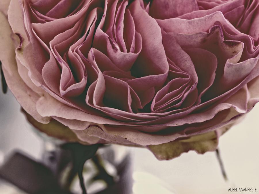 Mmm...A Rose