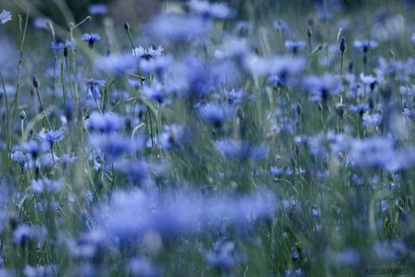 A field with Cornflowers
