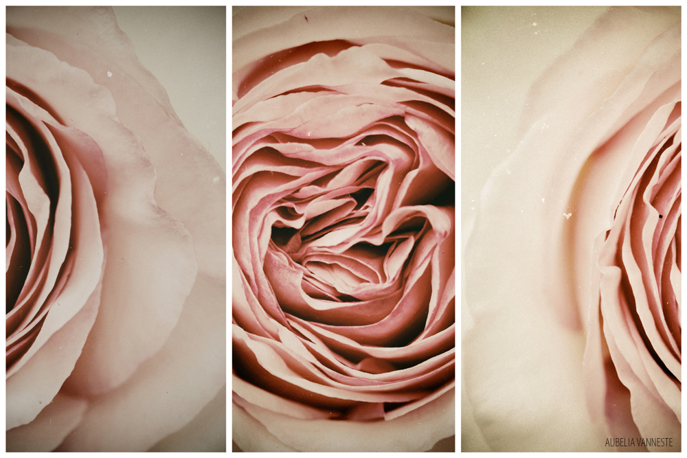 The beautiful details of a Rose