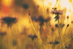 Centaurea mood