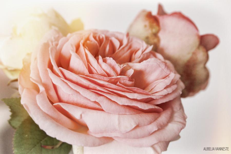 Rosa 'Pierre de Ronsard'