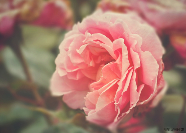A rosy note: soft and sweet