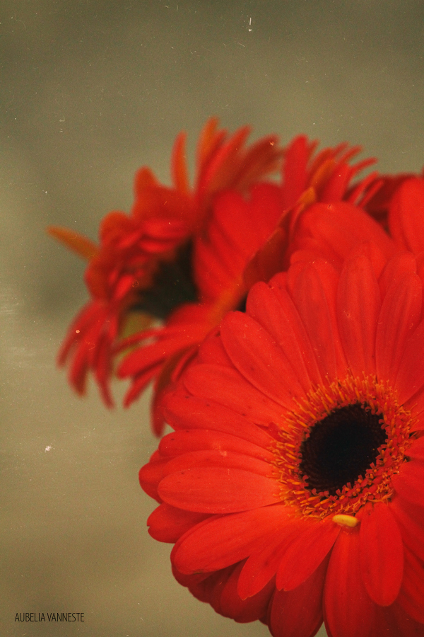 Poetry with Gerbera's