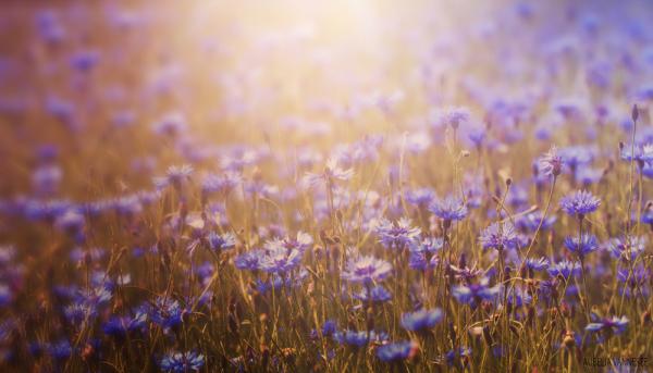 Centaurea field