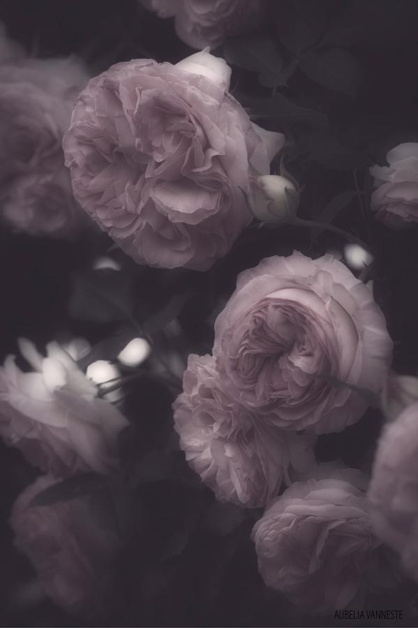 Many Roses