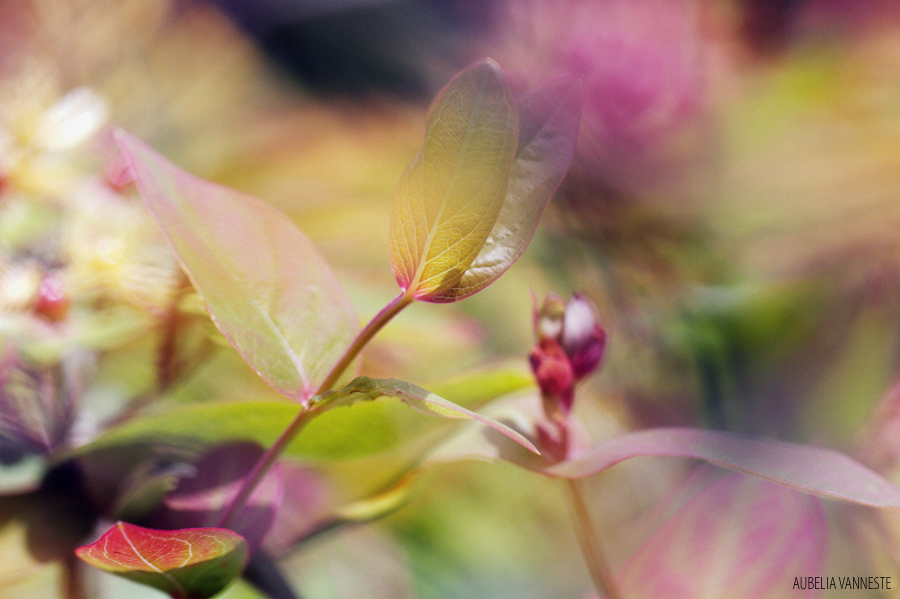 Hypericum garden