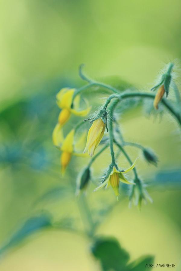 Solanum lycopersicum