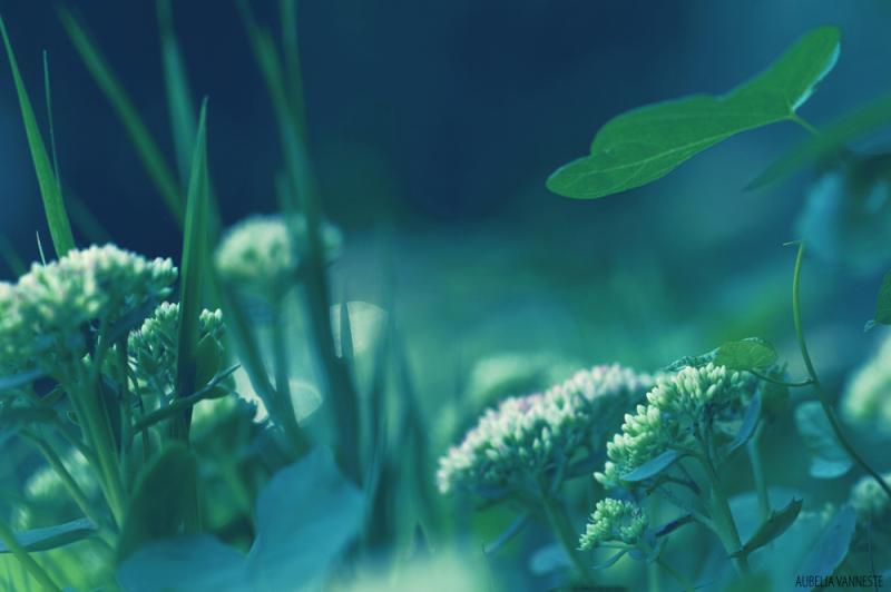 Sedum between the grass