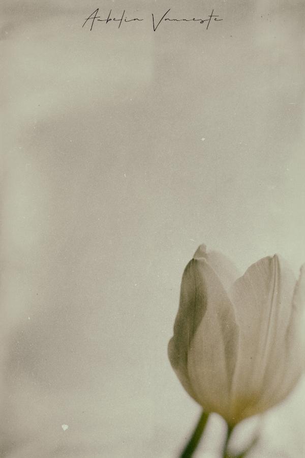 Une tulipe d'hier