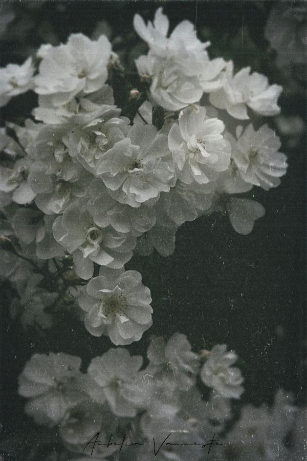 Vintage Rose still life