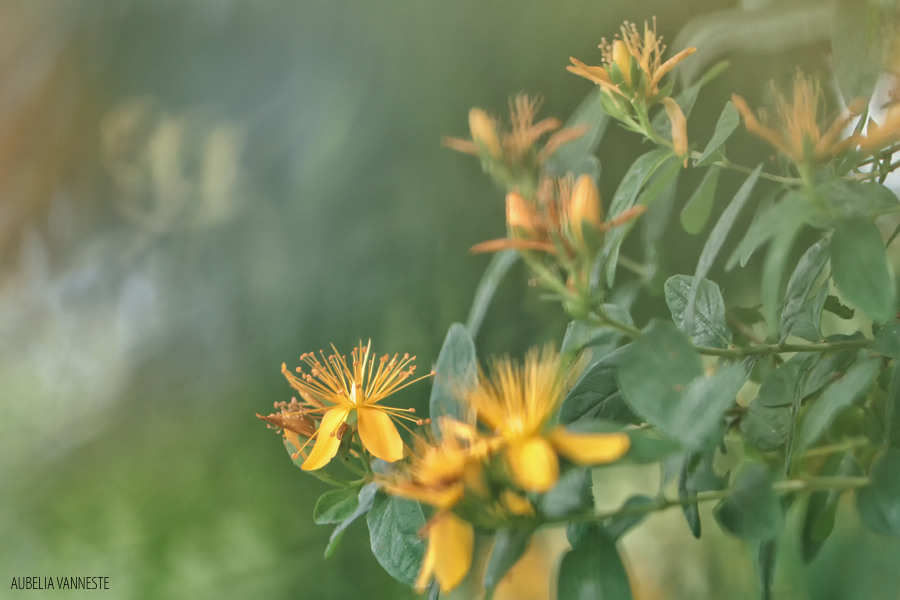 Hypericum in bloom