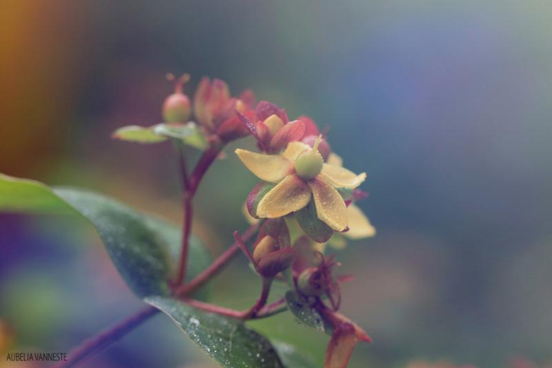 Hypericum in bloom
