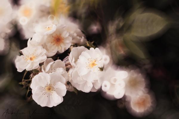 Delicate wild roses