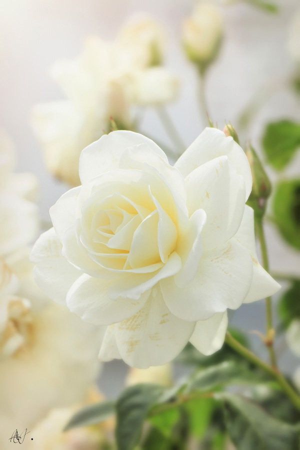 Amazing white