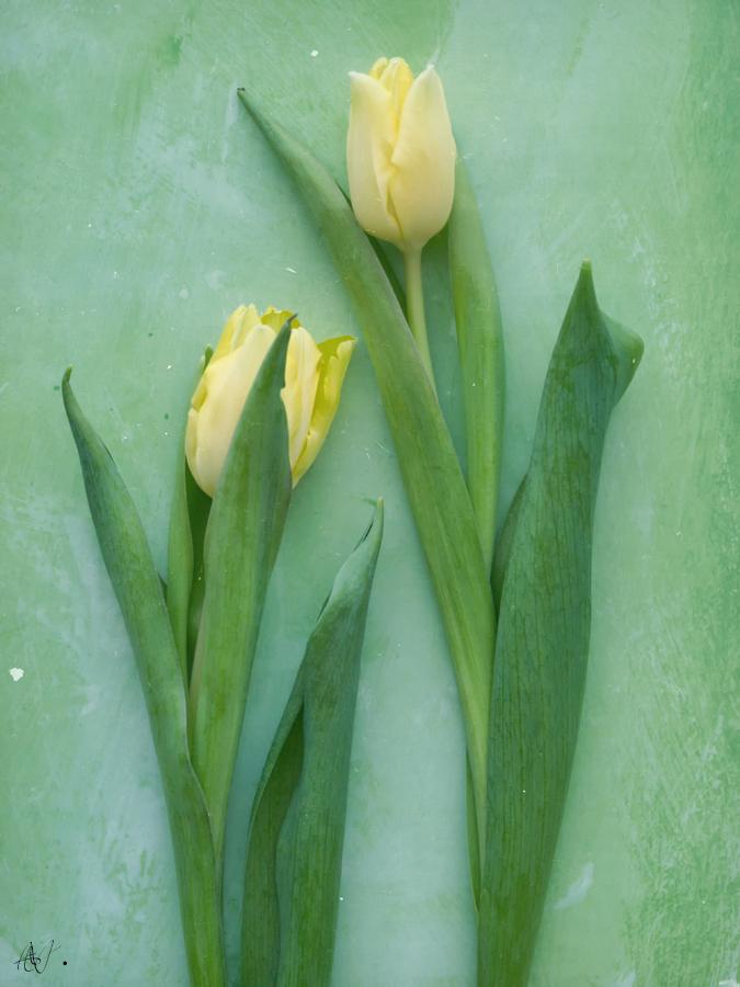 Une tulipe prête à éclore