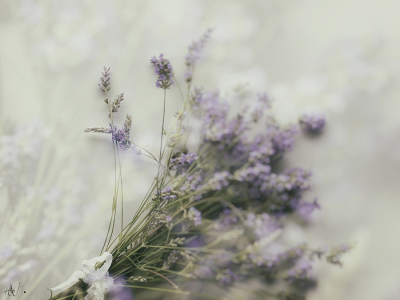 The color of Lavender