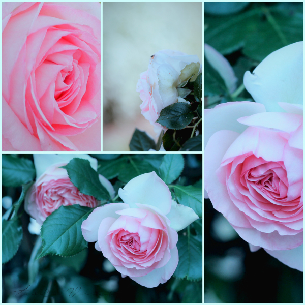 Selection of Roses