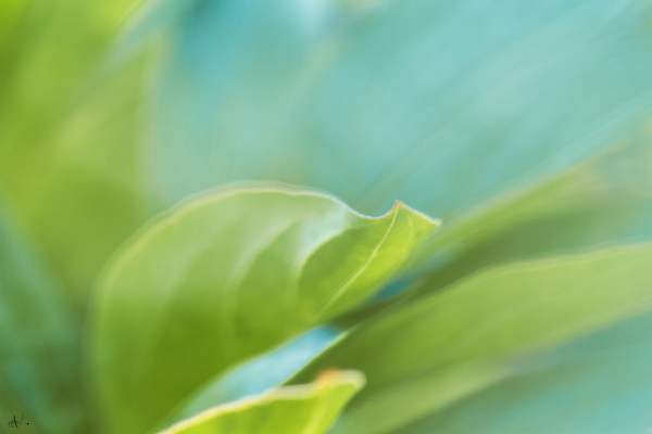 Leaves of a Peony