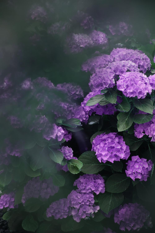 Hortensia garden