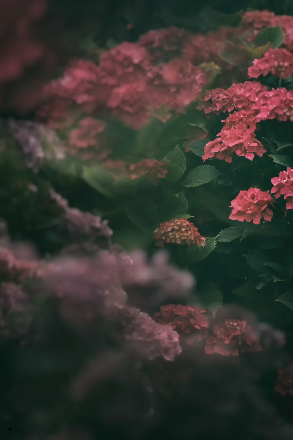 The beauty of Hortensia