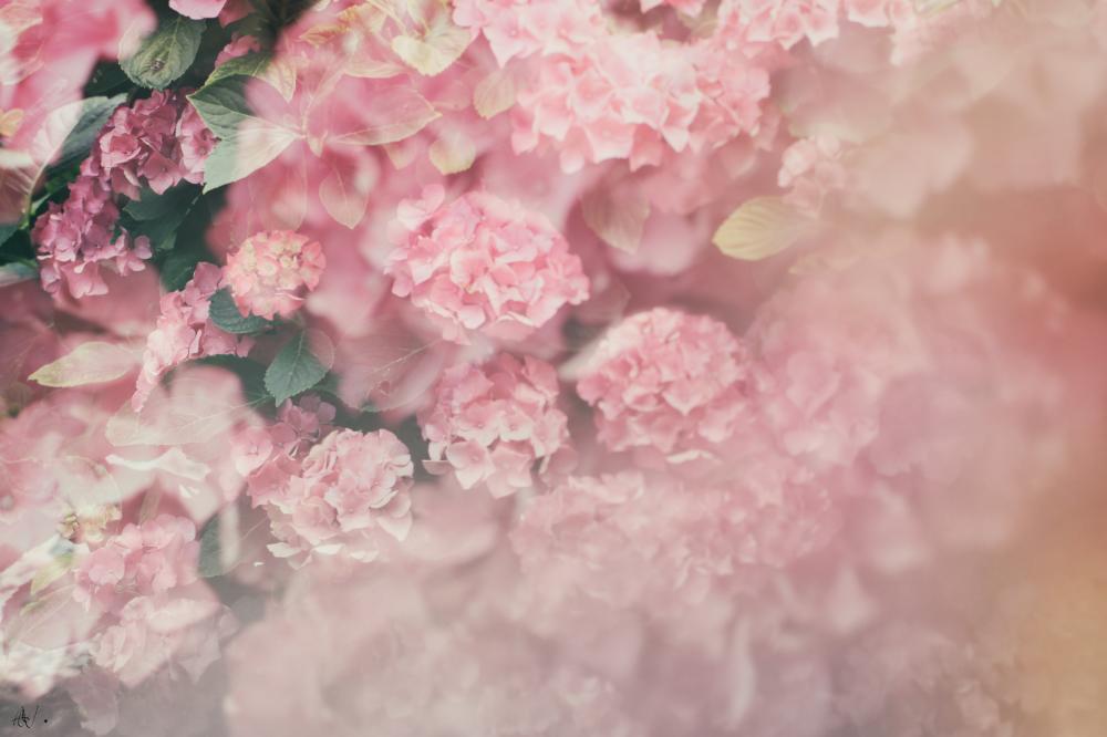 Hortensia dream