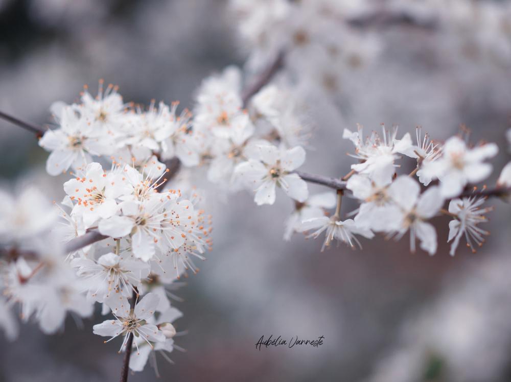 Beautiful blossoms