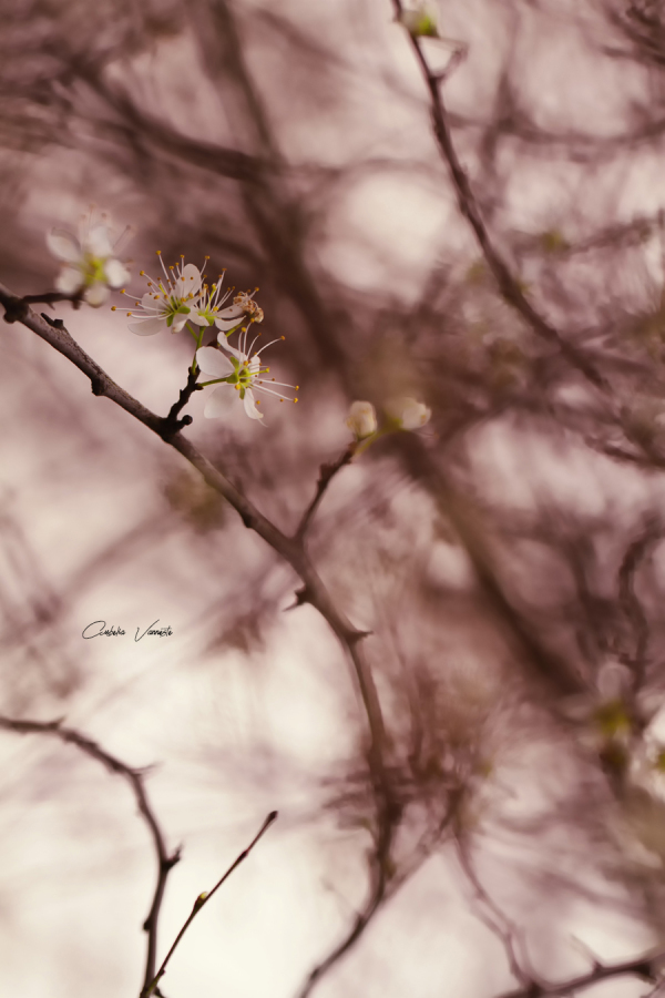 Beautiful blossoms in spring