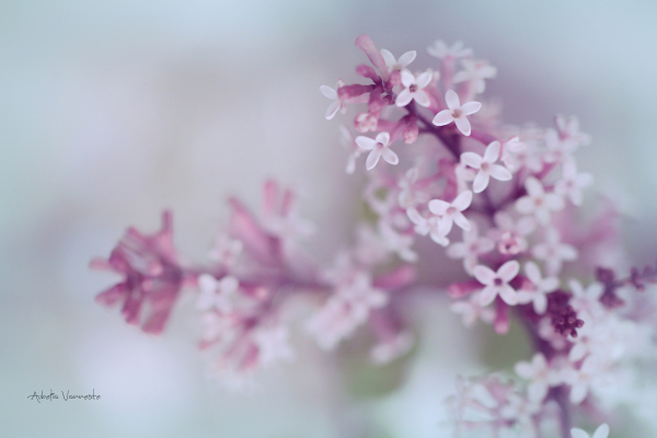 The splendor of blooming lilac