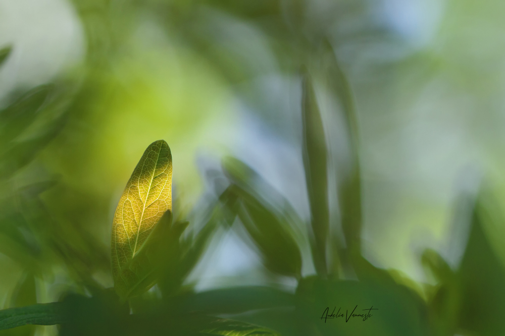 Leaf of Hypericum