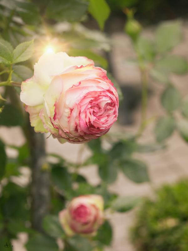 """Rosa """"Pierre de Ronsard"""""""